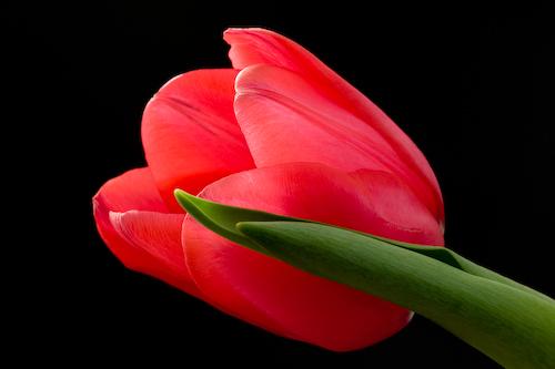 20070724145713_tulip_macro